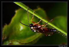 Diplazon laetatorius (cquintin) Tags: arthropoda hymenoptera ichneumonidae diplazontinae diplazon laetatorius macroinsectes