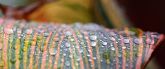 Stripes (PhotosbyDi) Tags: plant leaves rain droplets stripes cannalily nikond600 macromondays tamronf2890mmmacrolens