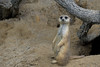 Meerkat (pdebree) Tags: park nature animal tampa zoo bay meerkat tampabay florida outdoor earth wildlife lowry lowryparkzoo