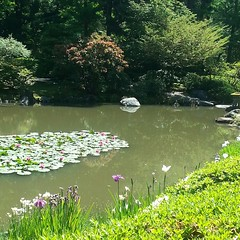 Lotus at #japanese  garden