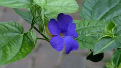 Thunbergia battiscombei (Acanthaceae) (Ruissalo Botanic Garden, Turku, 20150418) (RainoL) Tags: flowers blue plants plant flower finland geotagged turku clr indoors greenhouse april thunbergia acanthaceae fin botanicalgarden ruissalo 2015 ruissalonkasvitieteellinenpuutarha varsinaissuomi thunbergiabattiscombei 201504 ruissalobotanicgarden 20150418 geo:lat=6043321038 geo:lon=2217371463