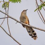 Great Lizard-Cuckoo (Cuban) (Coccyzus m. merlini, syn. Saurothera m. merlini) thumbnail