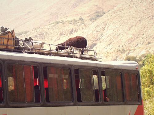 Y'aurait pas un mouton sur le toit? Cuzco, Pérou