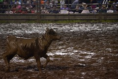 2015 Marshfield Independence Day Rodeo (Adventurer Dustin Holmes) Tags: cow cattle rodeo calf rodeos 2015 marshfieldindependencedayrodeo marshfieldrodeo marshfieldmissourirodeo marshfield4thofjulyrodeo