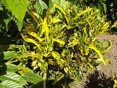 Codiaeum variegatum (L.) Rumph. ex A.Juss. Euphorbiaceae-variegated croton, โกสน (SierraSunrise) Tags: plants green yellow thailand foliage variegated chiangrai euphorbiaceae rosidae euphorbiales ornamentals wiangkaen