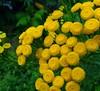 Beauté de l'été - Summer beauty (Jacques Trempe 3,300K hits - Merci-Thanks) Tags: plant flower fleur yellow jaune quebec tanacetum ourdoor vulgare stefoy barbotine tanaise