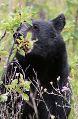 Black Bear and Berries (Diane Higdem Photography) Tags: blackbear