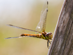 Female Common Darter (yeates2) Tags: ireland closeup female dragonfly lakes common darter sigma105mm canon40d