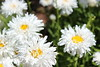 IMG_4587 (cheryl's pix) Tags: california flowers flower berkeley botanicgarden botanicalgardens botanicalgarden botanicgardens berkeleyca berkeleybotanicalgarden ucbotanicalgarden universityofcaliforniabotanicalgarden universityofcaliforniabotanicalgardenatberkeley