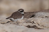 Checking In (Luis-Gaspar-less-active) Tags: animal bird passaro ave borrelho borrelhograndedecoleira plover ringedplover commonringedplover charadriushiaticula portugal oeiras nikon d60 55300 f8 13200 iso400