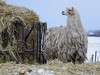 Woolly and warm (annkelliott) Tags: alberta canada cochranewildlifereserve audubonchristmasbirdcount2016 nwofcalgary farm animal llama camelid domesticated distantview frontsideview wool woolly hay haybale food outdoor winter lowlight 29december2016 fz200 fz2004 annkelliott anneelliott ©anneelliott2016 ©allrightsreserved