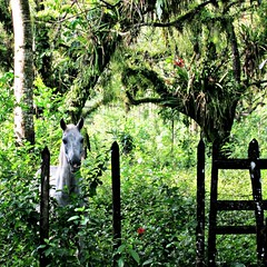 White Horse in the Jungle (crischo2016) Tags: animal themes animalsinthewild day domesticanimals greencolor growth horses jungle trekking mammal nature nopeople oneanimal outdoors palenque chiapas rainforest rainforestplants tree tropicalparadise tropicalplants whitehorse inpalenque mexico