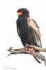Bataleur - Savuti, Botswana (Ian Locock Photography) Tags: 2015 birds botswana