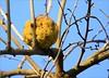 Oranger des Osages (berthou.patrick) Tags: faits dhiver