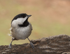 Carolina chickadee on alert (Anne Davis 773) Tags: 2017365 21365 birds carolinachickadee
