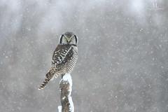 Chouette épervière - Northern hawk-owl - Surnia ulula (Maxime Legare-Vezina) Tags: bird oiseau nature owl wildlife wild animal fauna ornithology biodiversity canon winter hiver snow neige quebec canada
