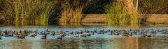 Cormorant party (Wideangle55) Tags: sanjoaquinmarsh sanjoaquinmarshwildlifesanctuary 300mm wideangle55 nikon d800 colors birds cormorant