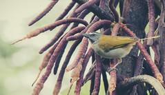 saltador_ajicero (mamonto_70) Tags: cocorna antioquia colombia suramerica orienteantioqueño biodiversidad naturaleza nikond90 2017 aves bird pajaros ornitologia ornithology