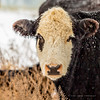 Winter Cow (DiPics) Tags: cow countryside cattle moo missouri rural farmstead field graze grazing winter farm life midwest