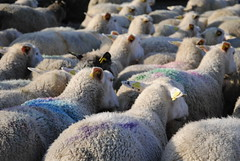 _DSC2530 (Pauline & Gaël) Tags: mouton sheep troupeau agriculture serré packed laine wool