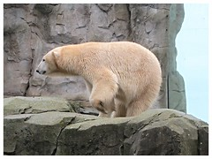 "Eisbärin ""Valeska"" (v8dub) Tags: eisbärin valeska eisbär bär ours polar bear polaire blanc weiss white animal natur nature tier tierpark zoo am meer allemagne deutschland germany niedersachsen bremerhaven"