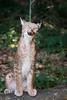 Got it (Cloudtail the Snow Leopard) Tags: luchs wildpark pforzheim tier animal mammal säugetier katze cat feline lynx