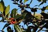 Fauvette à tête noire - Sylvia atricapilla - Eurasian blackcap (pablo 2011) Tags: collectionnerlevivantautrement ngc nikonflickraward nikonpassion nikond7100 sigmalenses toulouse nature jardin garden jardinraymondvi oiseau bird fauvetteatêtenoire sylviaatricapilla eurasianblackcap