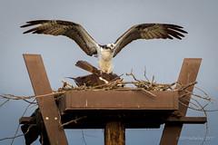 And That Kids is How Little Osprey are made. (halladaybill) Tags: irvine california unitedstates us osprey sanjoaquinwildlifesanctuary mating nesting pandionhaliaetus accipitriformes pandionidae orangecounty birds nikond500 nikkor80400zoomlens
