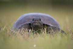 Neighbor (santosh_shanmuga) Tags: gopher tortoise turtle shell animal nature wild wildlife outdoor outdoors herp herpetology threatened protected reptile chelonian scaly nikon d810 500mm fl florida charlotte backyard green grass punta gorda puntagorda