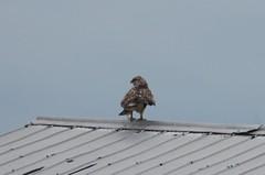 Rough-legged Hawk (Terrance Carr) Tags: 201201 brunswick ferry dncb port terry carr 20120109 2012 january terrycarr