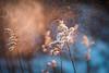 Mist (katarri) Tags: nikon nikond750 d750 nikkor 50mm 14 nature flora flower flowers plant plants meadow outside outdoor winter january snw snowy frost frosty cold cool poland polska
