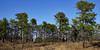 DSC02836 (dr.tspencer) Tags: abanypinebushpreserve albanyny trees pines naturepreserve landscape
