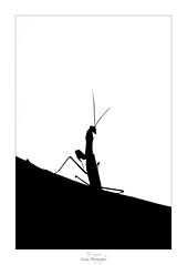 Fuis moi je te suis, suis moi je te fuis (Naska Photographie) Tags: naska photographie photo photographe paysage proxy proxyphoto macro macrophotographie macrophoto nature extérieur insectes arthropodes mante religieuse mantidae noir et blanc nb black white monochrome silhouette ombre chinoise