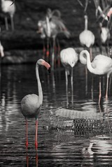 editing adobe light room 5 (alzarif-Abo Ali) Tags: blackandwhite photography wildlifephotography bird birds flickr nikond7100 nikonphotography nikon reflection انعكاس نيكون طيور فلكر الوان اسودوابيض