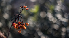 (C-47) Tags: flowers helios 442 canon eos 7d mk mark ii m42 bokeh green plant nature colors dry fruit orange