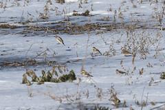 (Rick 2025) Tags: birds hornedlark
