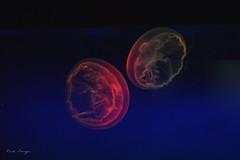 上海自然博物馆_海月水母 (走走-74511940) Tags: 上海自然博物馆 shanghainaturalhistorymuseum aureliaaurita 水母 海月水母