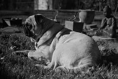 Napoleon (jspen77tx) Tags: pug pets dog family film 35mm filmisnotdead issf istillshootfilm canon50mmf18ltm