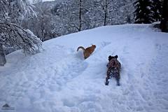 Super Fun In The Snow ❄ (Xena*best friend*) Tags: bradpitt bp marcopolo mp catsanddogstogether catsanddogsplayinginthesnow cats whiskers feline katzen gatto gato chats furry fur pussycat feral tiger pet kittens kitty piedmontitaly piemonte canoneos500d italy wood woods wildanimals wild paws animals calico markings ©allrightsreserved pets purr eosrebelt1i outdoor winter snow cold frozen catsinthesnow catsrunninginthesnow catsplayinginthesnow catshavingfuninthesnow lagottoromagnolo lagottoromagnolodogs lagotto retrieverdog retrievertrufflesdog lagottopuppies puppies snifferdog trufflesniffer tartufo tartufi canedatartufo waterdog waterretrievingdogs greatcompanionforchildren excellentsenseofsmell clever affecionate intelligent acquaticdog attentive trufflehunter theonlybreedofdogthatisofficiallyrecognizedasspecializedintrufflehunting dogsinaction dogsinthewhitestuff actionshots actiondogs actioncats act