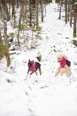 Greta & Umi (syzygial) Tags: greta umi zoomies americanpitbullterrier pitbull boxer standardpoodle poodle spoo novascotia