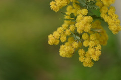 (rosemary*) Tags: flower 2004 nature topf25 yellow 500v20f verdeeamarelo