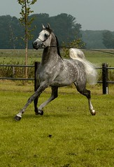 show power (bea2108) Tags: horses horse beautiful animal animals cheval grey explore arab arabian arabianhorse dapple interestingness363 i500