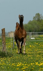 drinker of the wind (bea2108) Tags: horses horse animal animals arab arabian arabianhorse trotting arabianhorses hbotw hbotwarabian