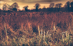 . The Reed Beds Of Sorrow . (3amfromkyoto) Tags: park uk trees england english reed reeds landscape estate beds norfolk 2006 february sorrow felbrigg 3amfromkyoto flickr:user=3amfromkyoto