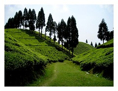 tea gardens on way to Mirik (arnabchat) Tags: green nice tea favs teagarden darjeeling own mirik arnabs arnabchat gopaldhara arnabchatterjee