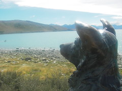 Collie at Lake Tekapo (indietravel) Tags: lake nz aotearoa tekapo