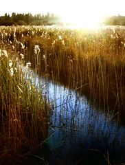 Sunset on Irish Bog (County Kildare) (David Maury) Tags: ireland light sunset sun reflection nature reeds spectacular landscape golden weeds magic horizon fluffy lookatme extraordinaire bog kildare davidmauryphotography