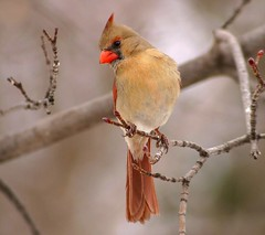 Female Northern Cardinal (nature55) Tags: red germantown nature birds tag3 ilovenature outdoors tag2 tag1 cardinal wildlife aves ornithology