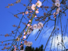 Plum blossoms (1) (kamoda) Tags: pink flowers blue sky japan garden spring blossom branches blossoms plum hiroshima ume plums hiroshimacity 広島 teien shukkeien