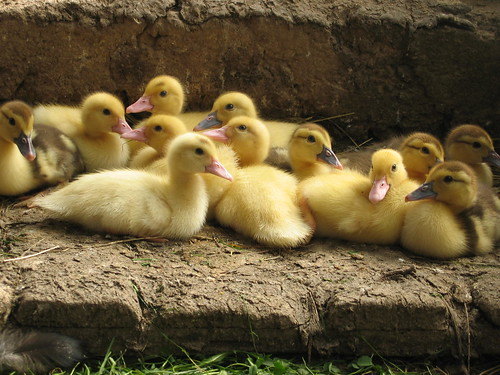 little ducks